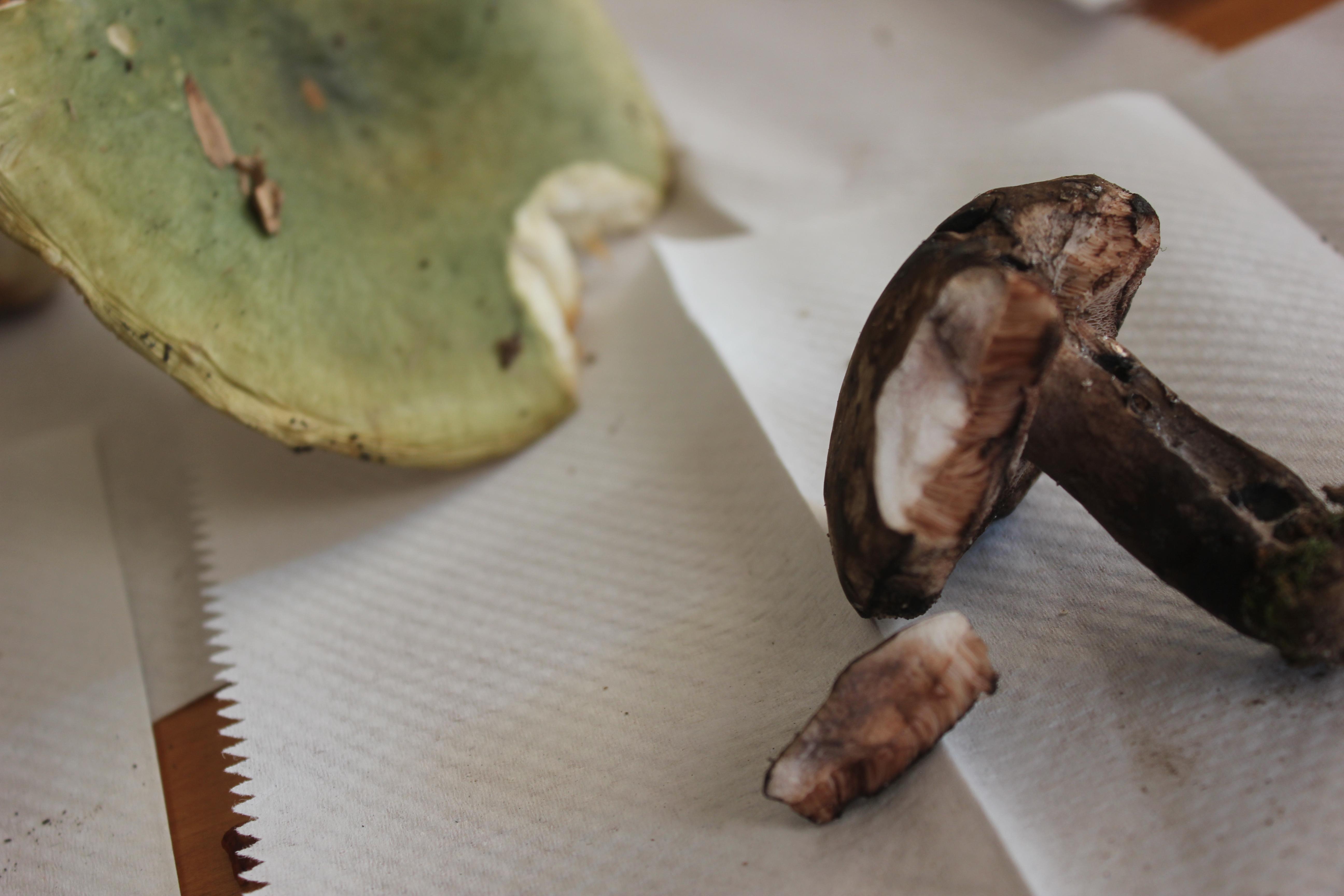 Tylopilus nebulosus image