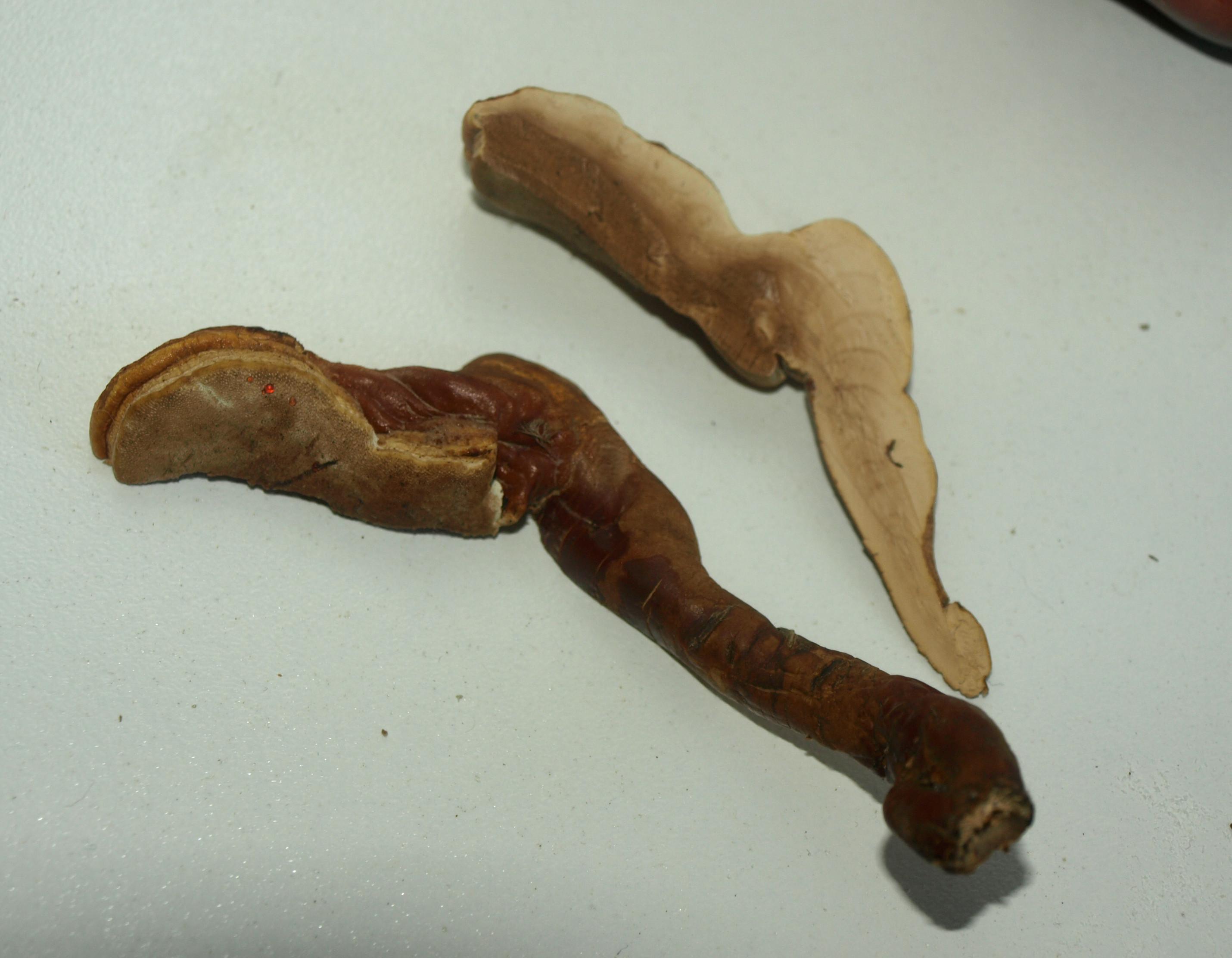 Ganoderma ravenelii image