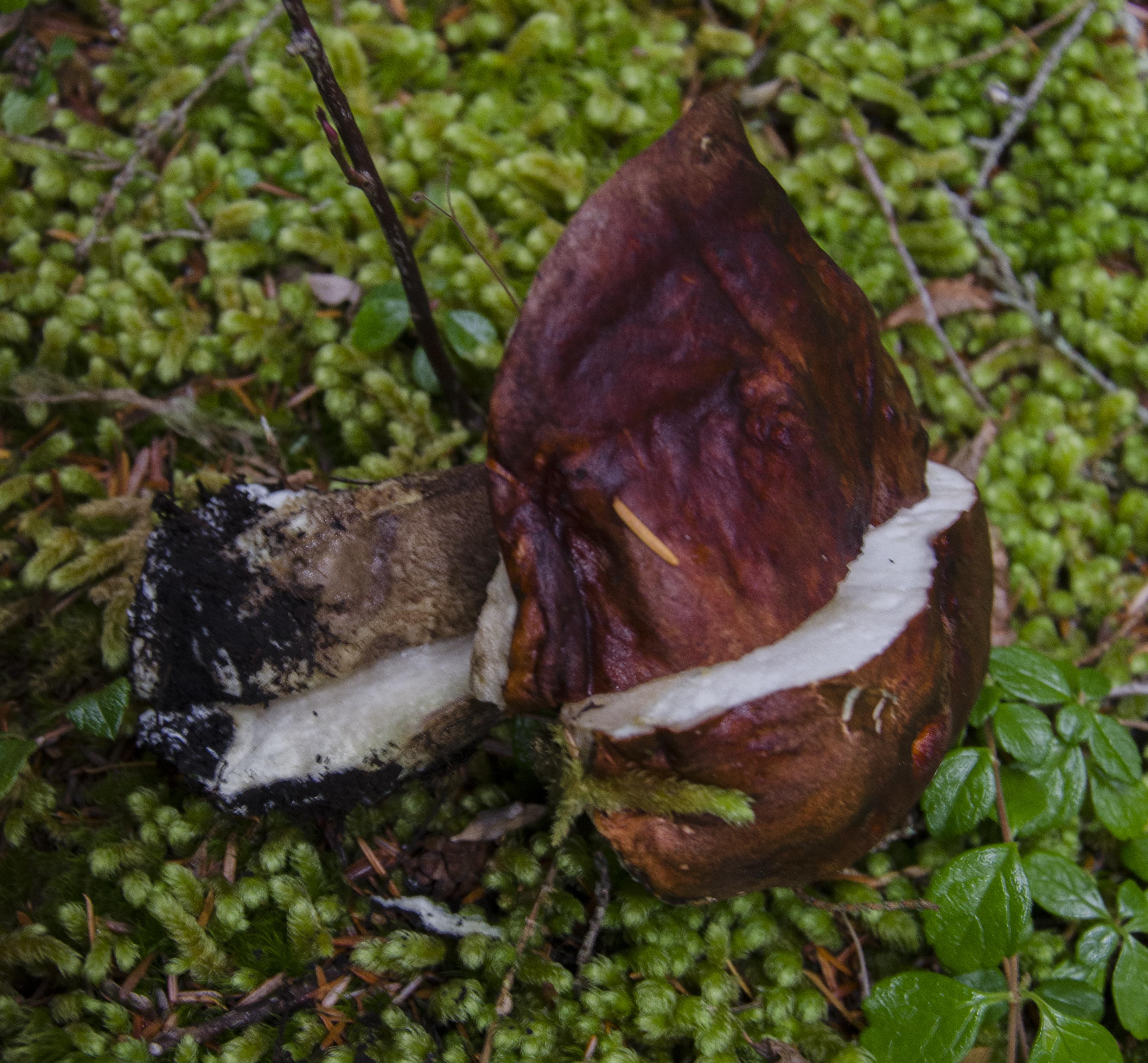 Leccinum ponderosum image