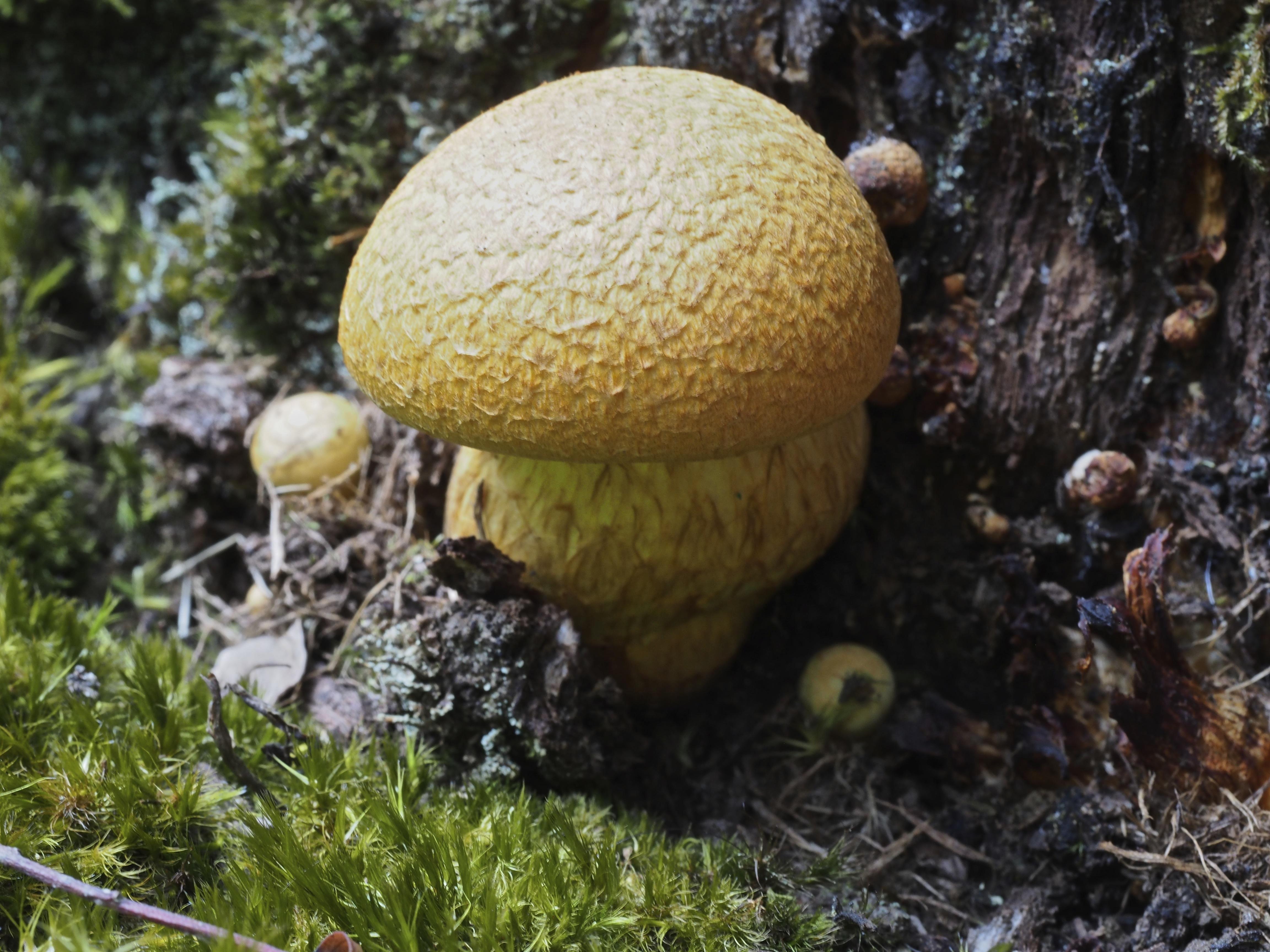 Gymnopilus giganteus image