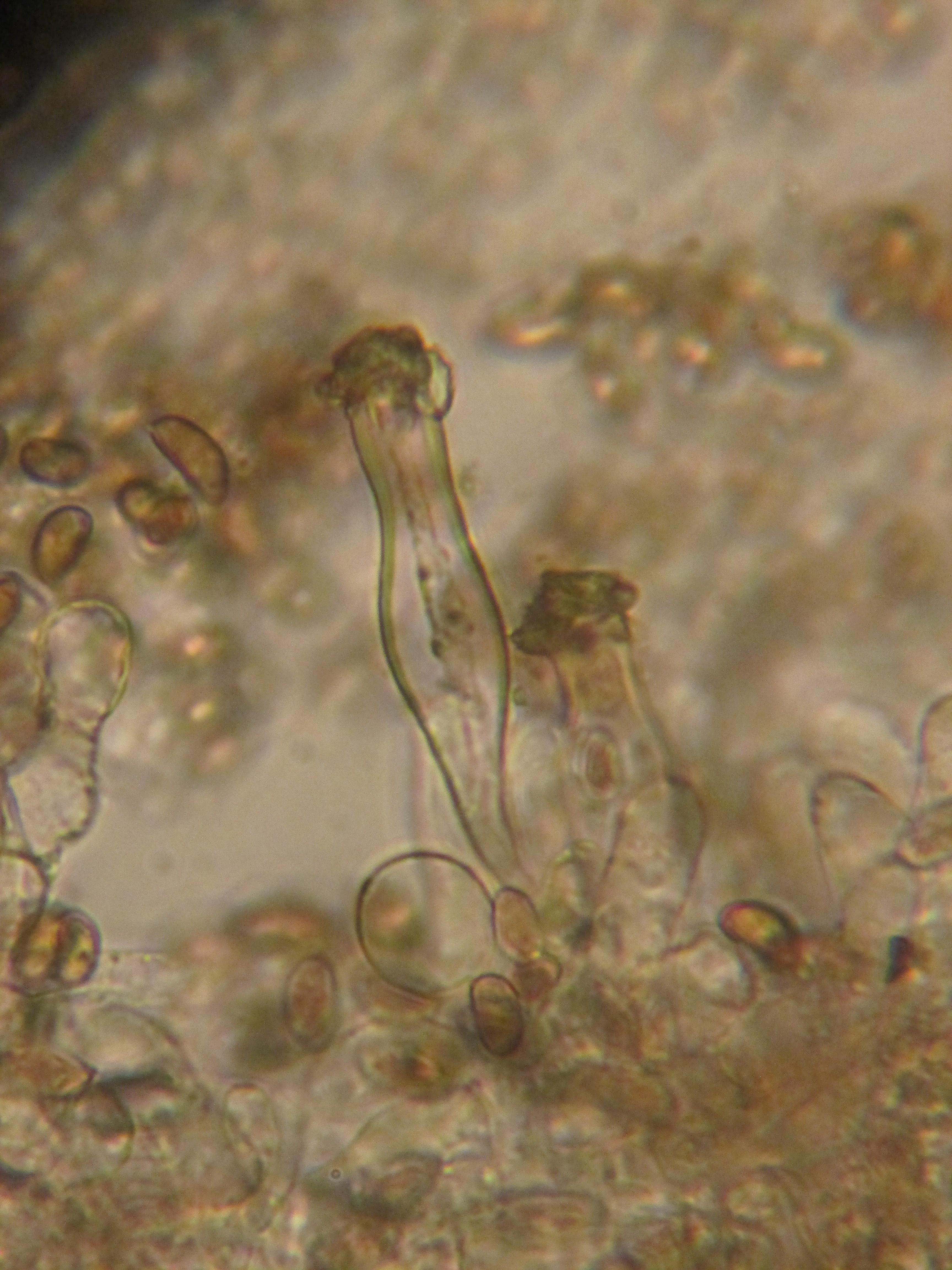 Inocybe phaeoleuca image