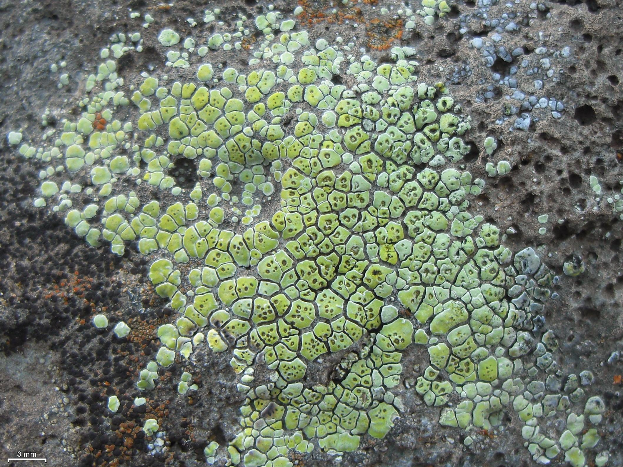 Acarospora affinis image