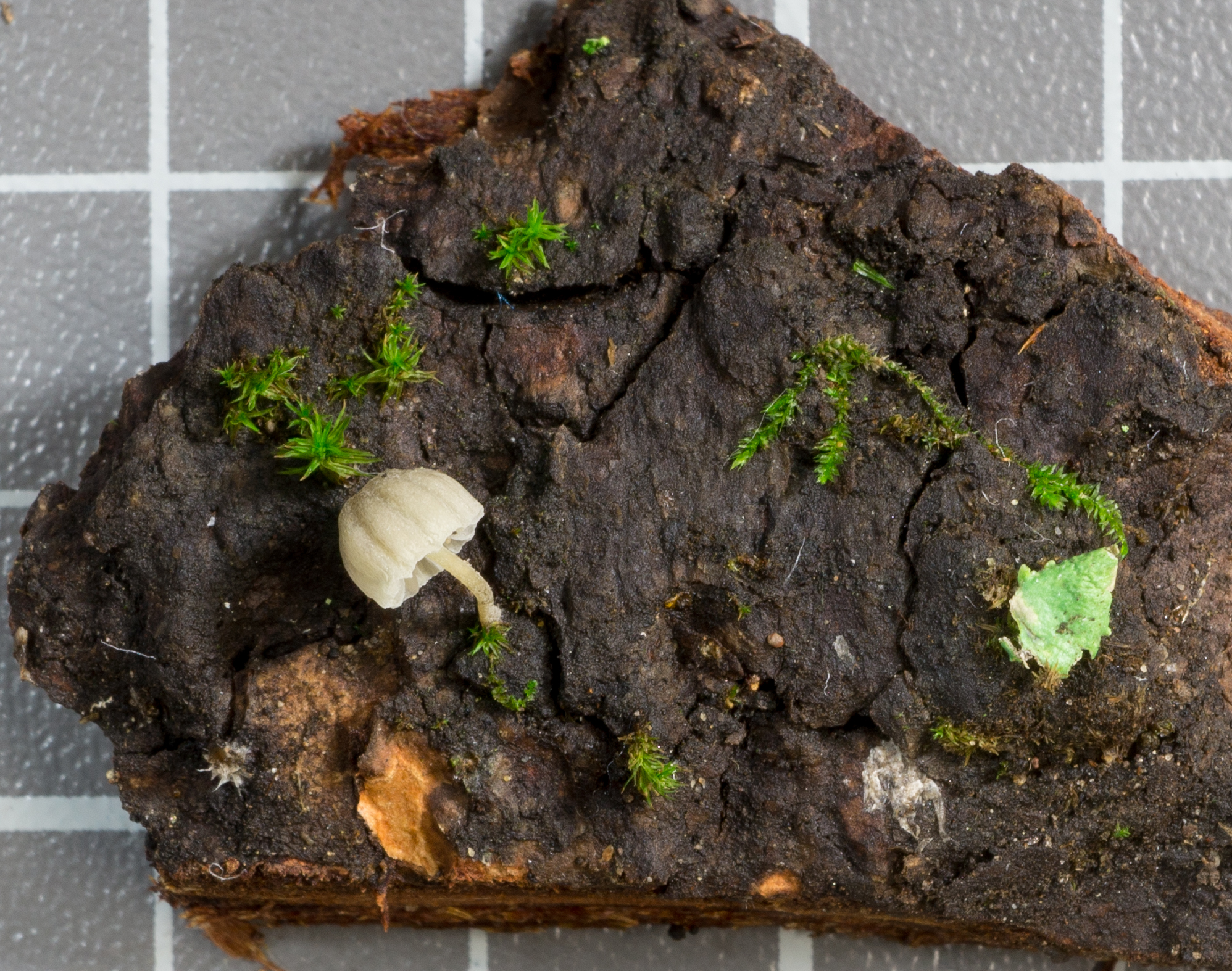 Mycena supina image