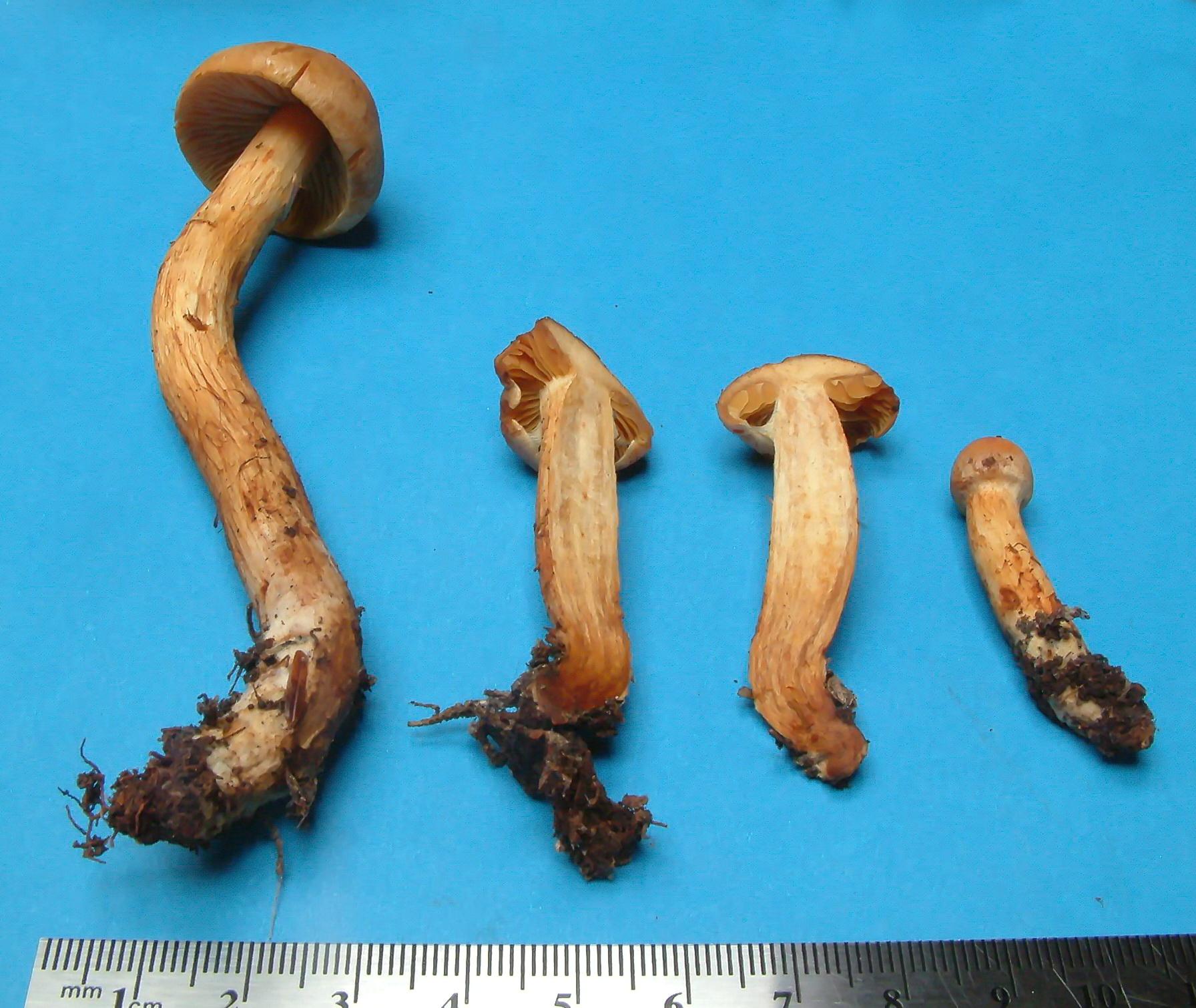 Cortinarius kroegeri image