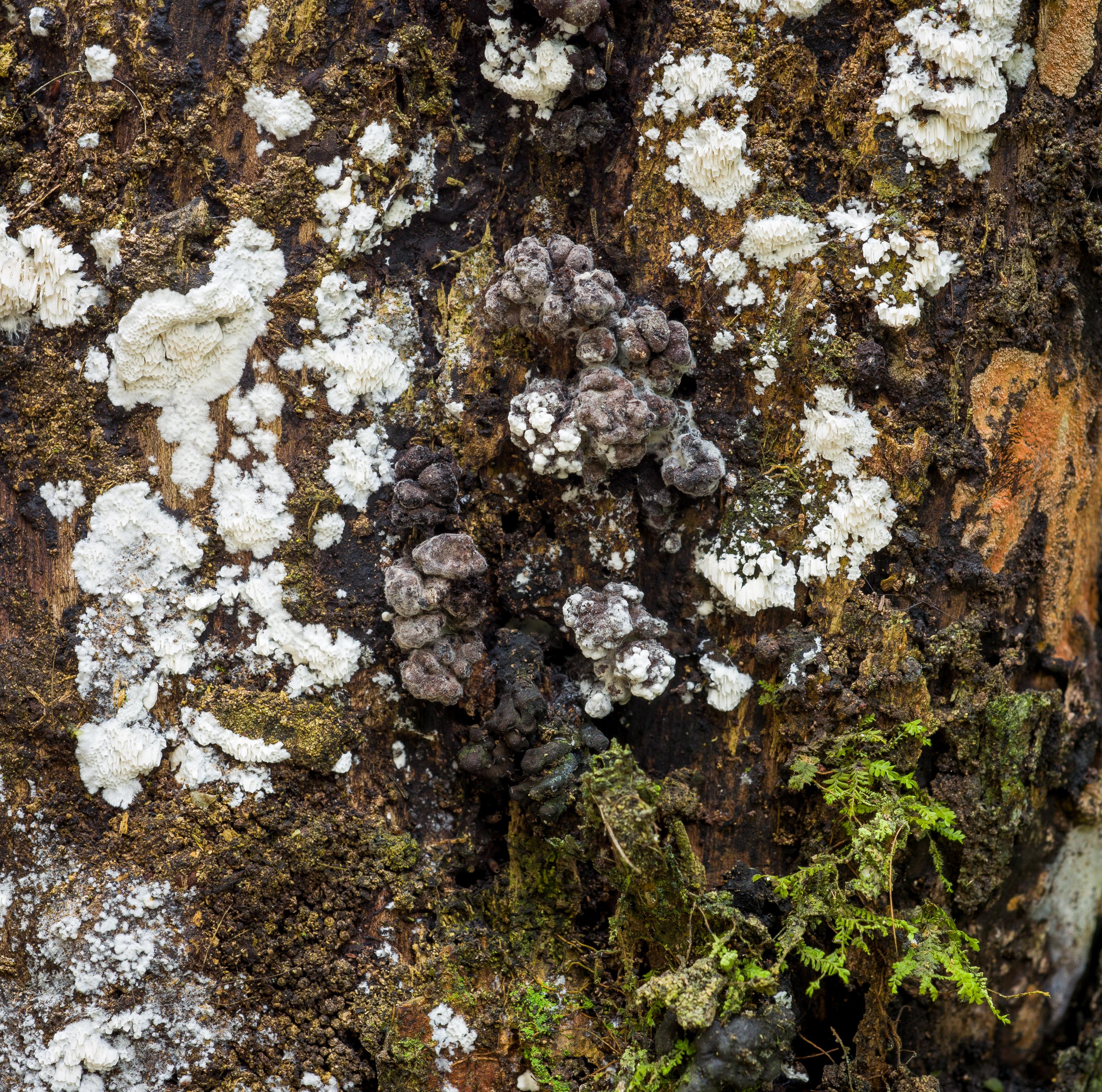 Pyrenopolyporus symphyon image