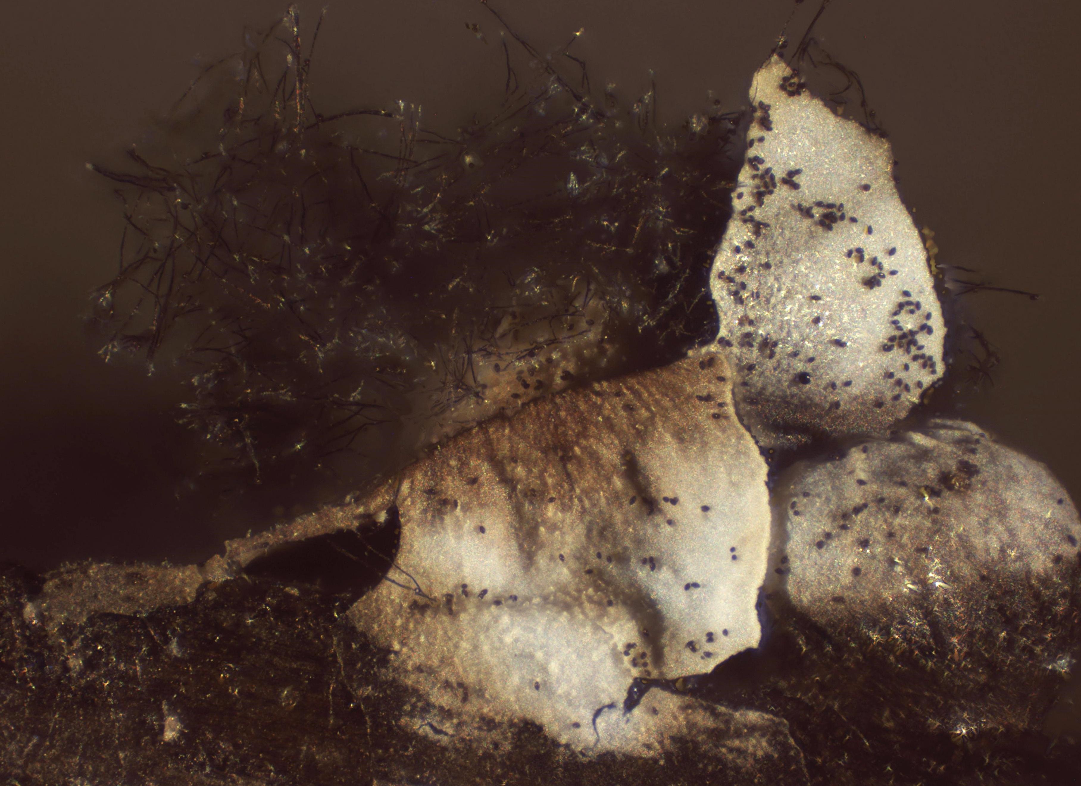Diderma umbilicatum image
