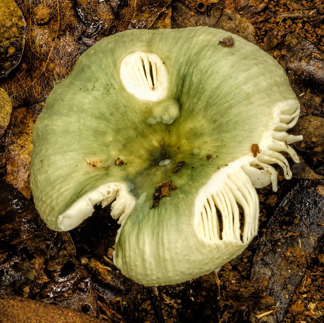 Russula viridis image