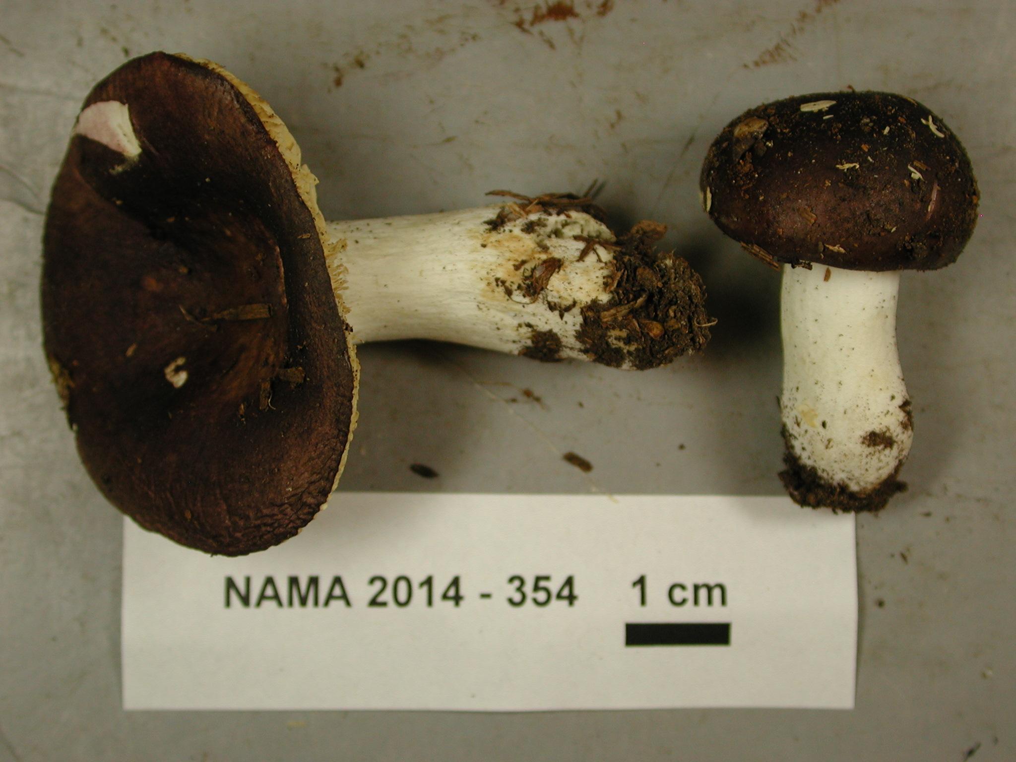 Russula laricina image