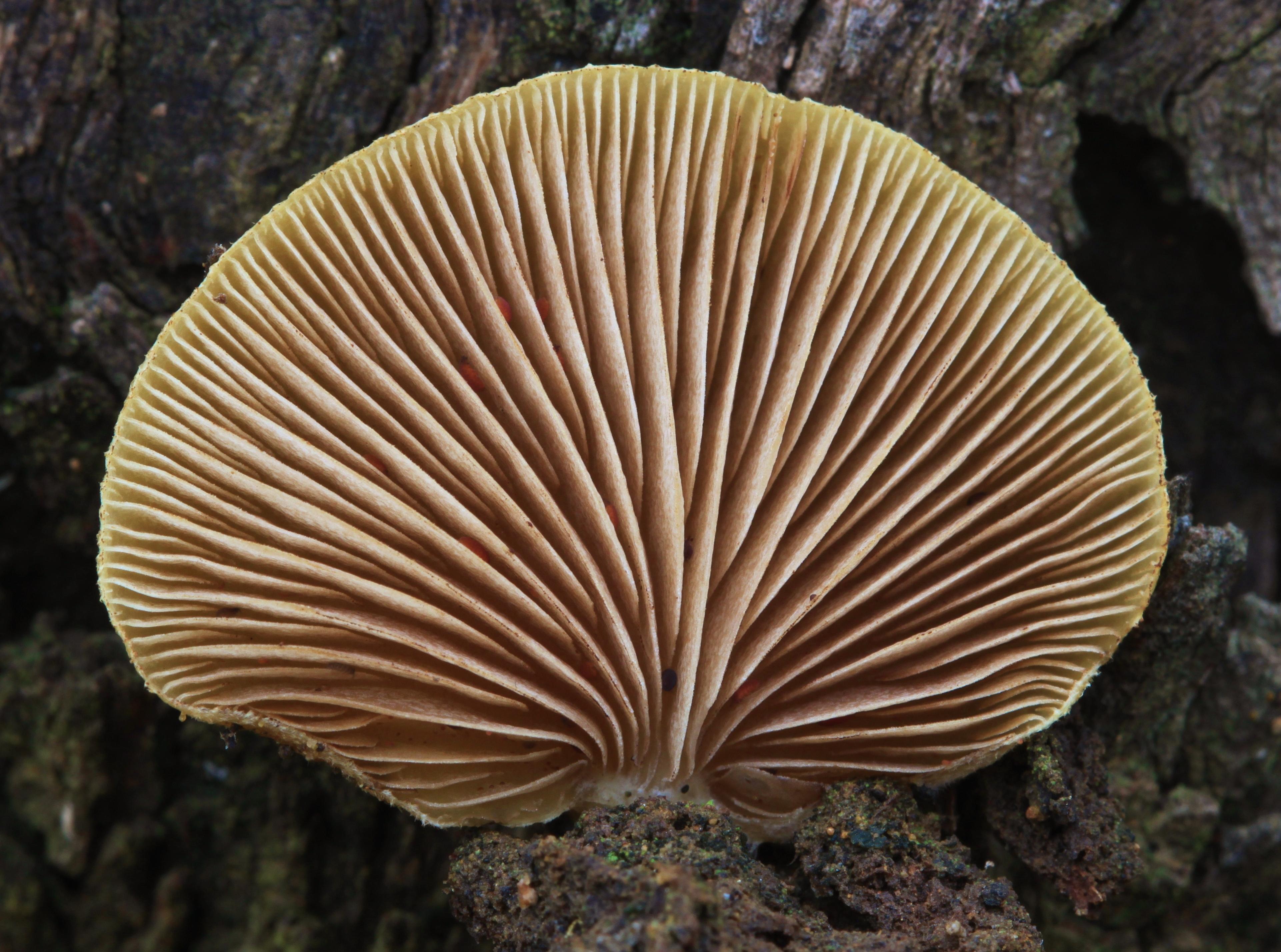 Crepidotus eucalyptorum image