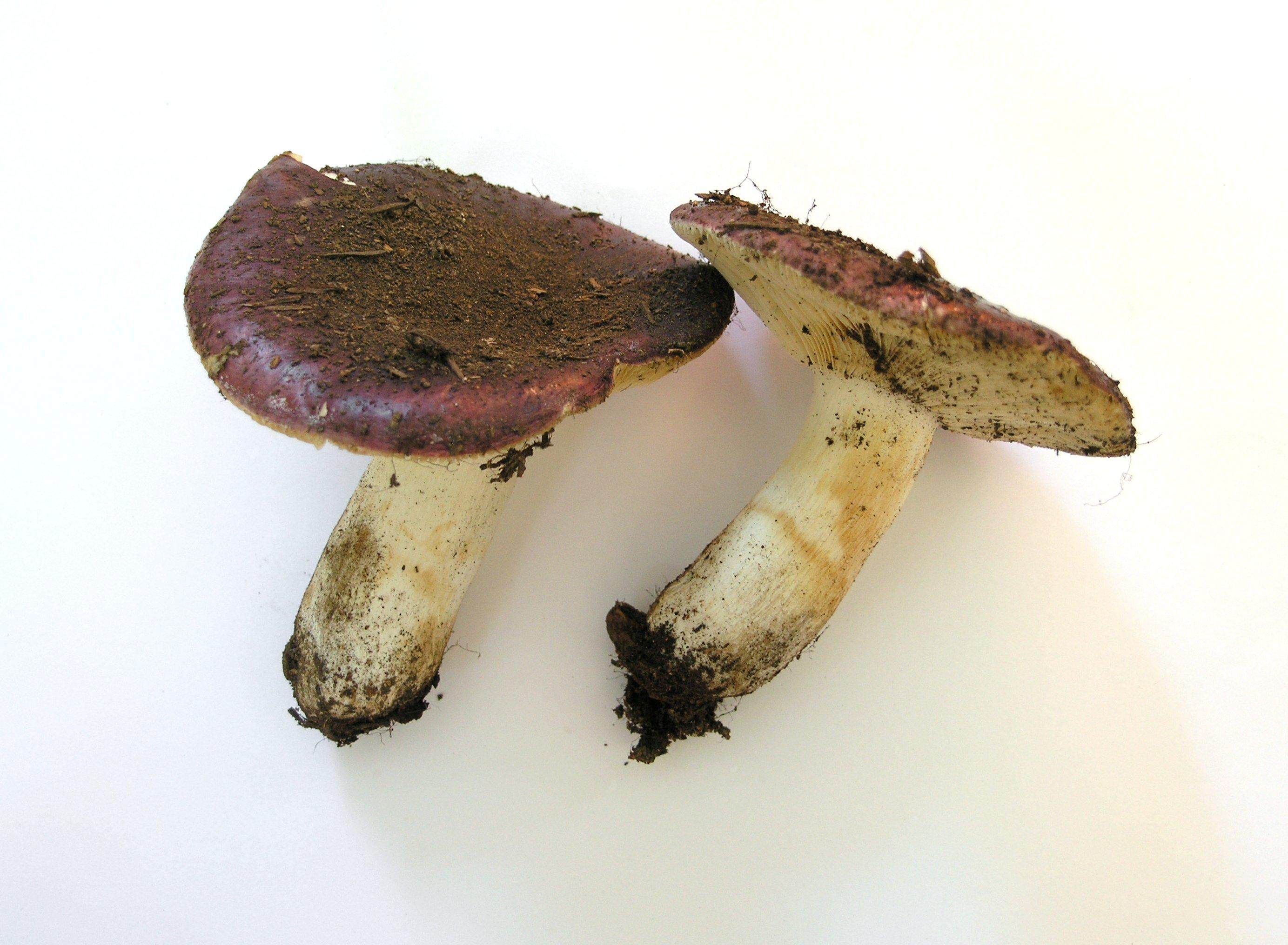 Russula amethystina image