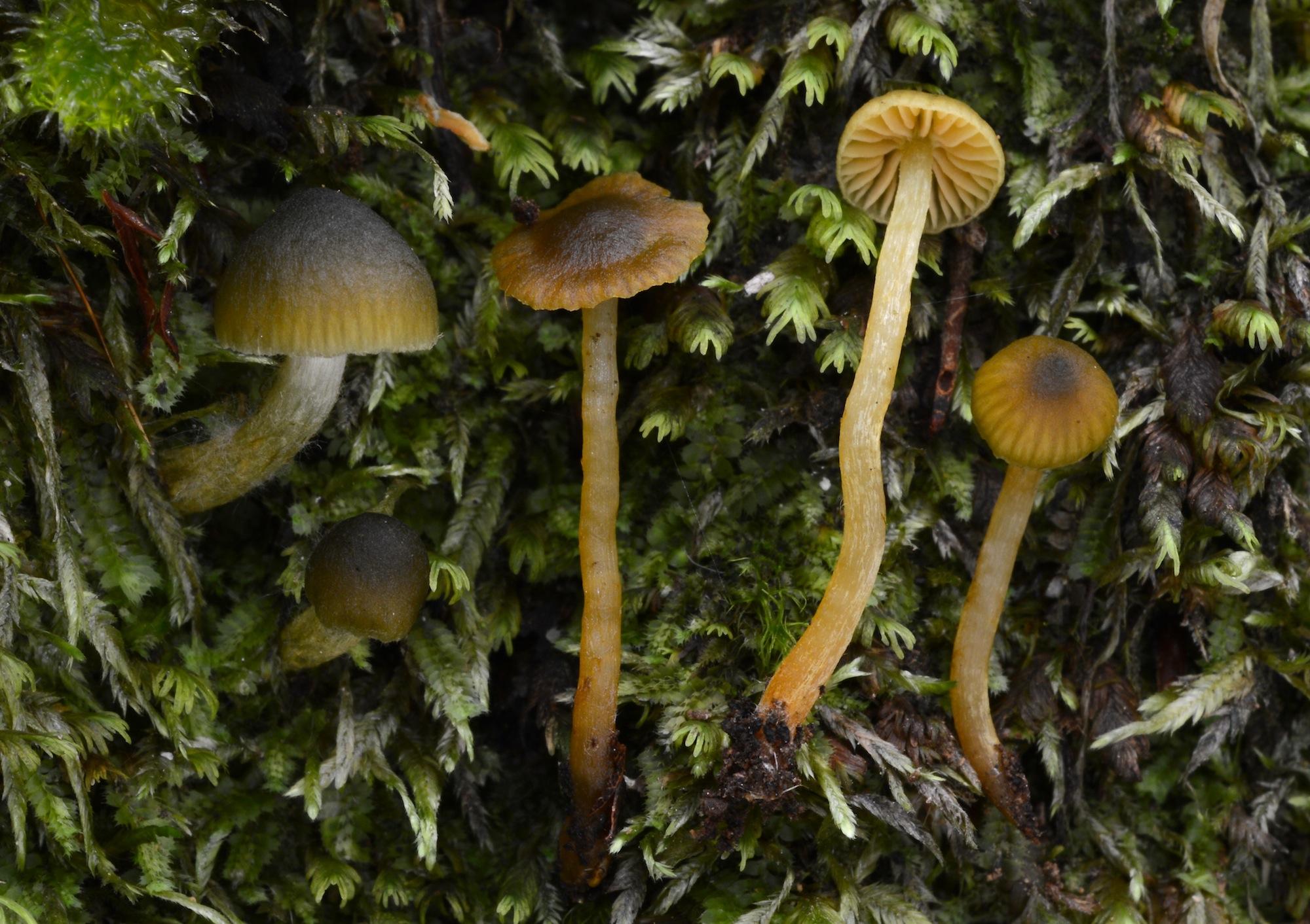 Cortinarius lachanus image