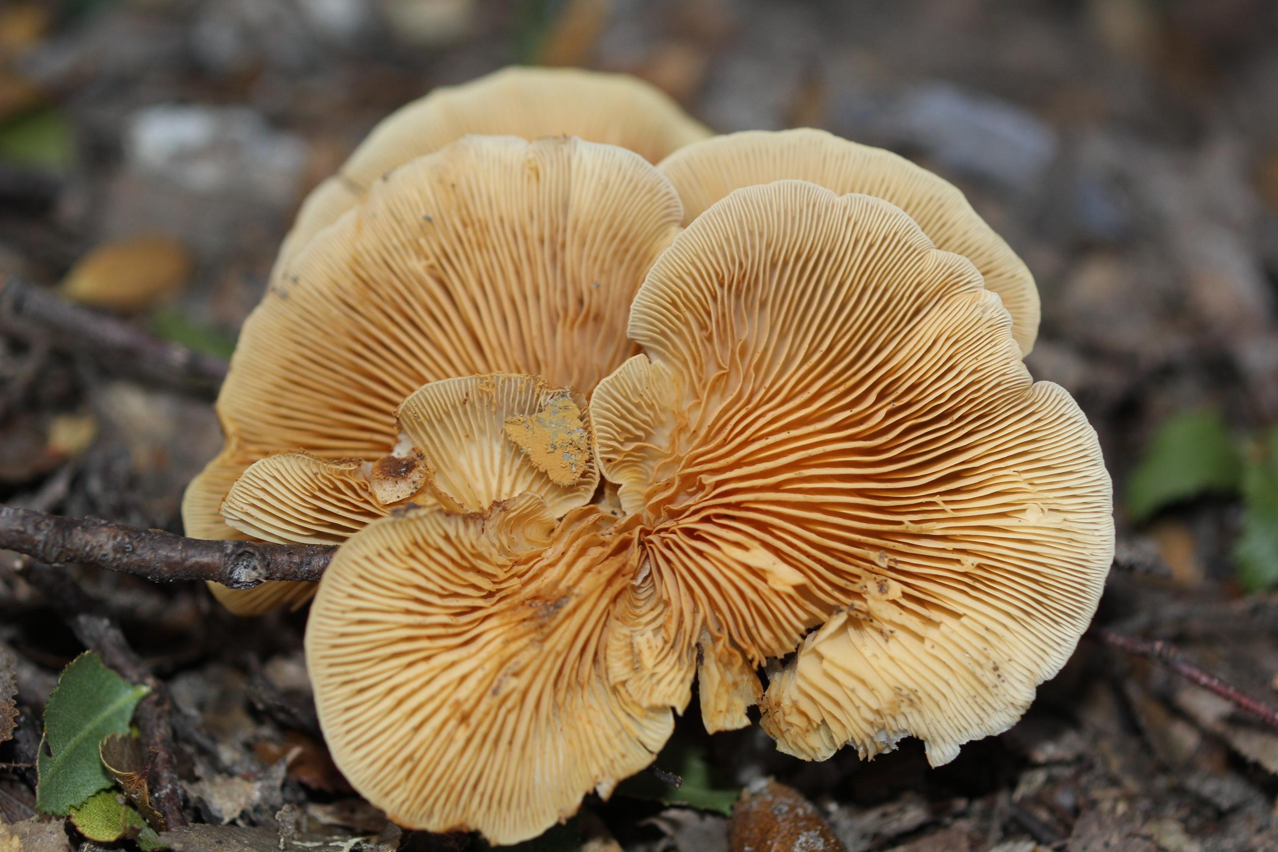Crepidotus brunswickianus image