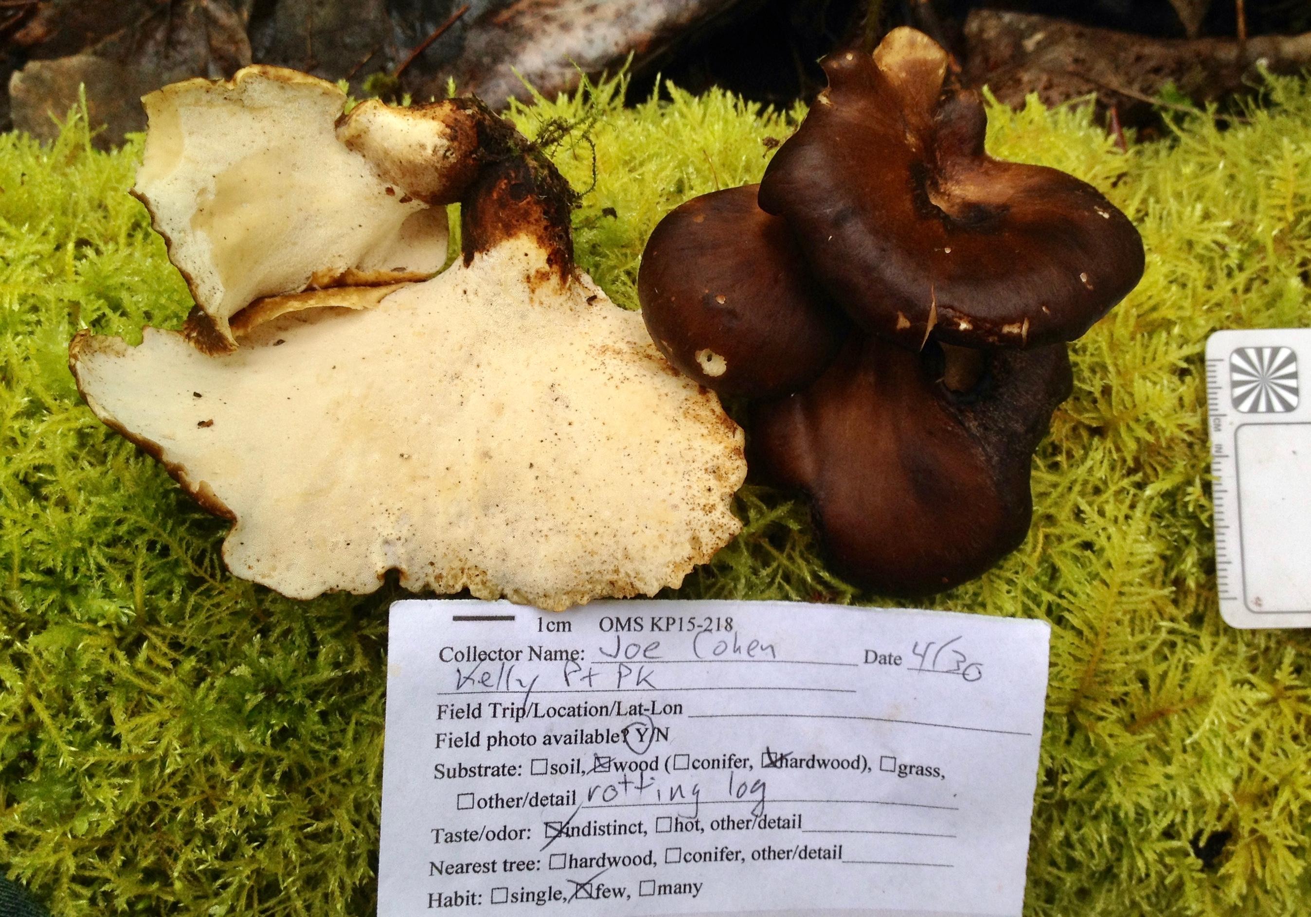 Nigroporus durus image
