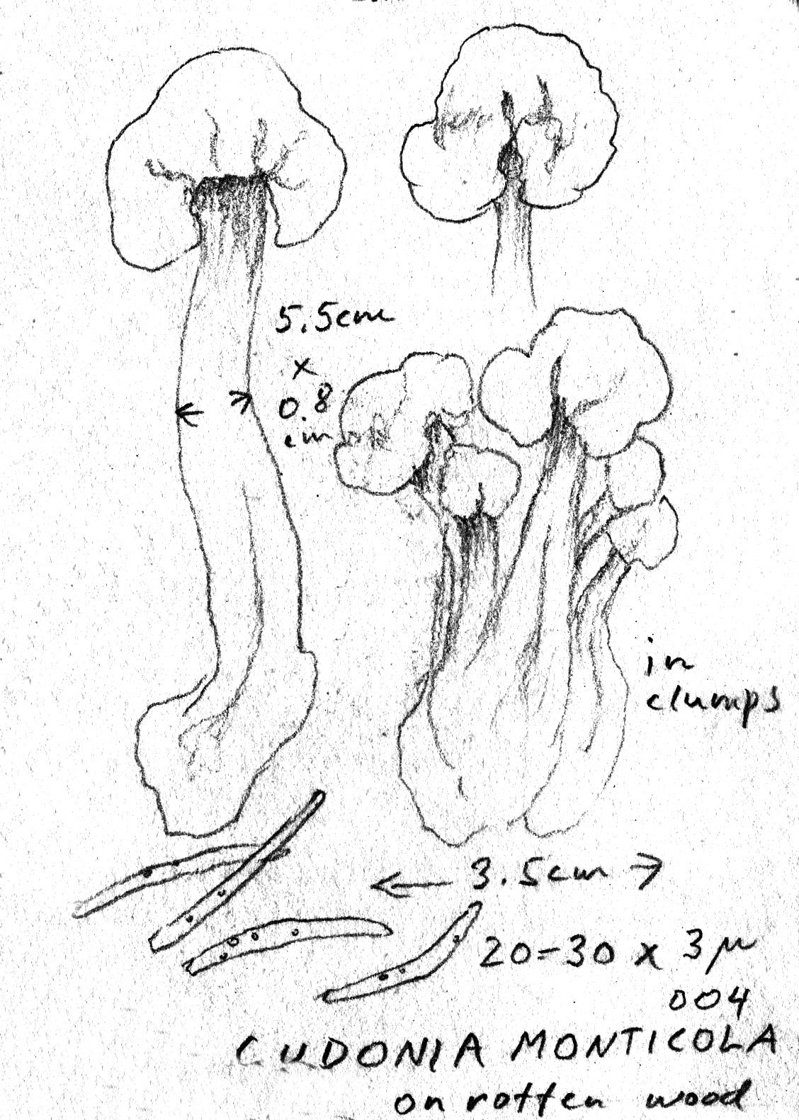 Pachycudonia monticola image