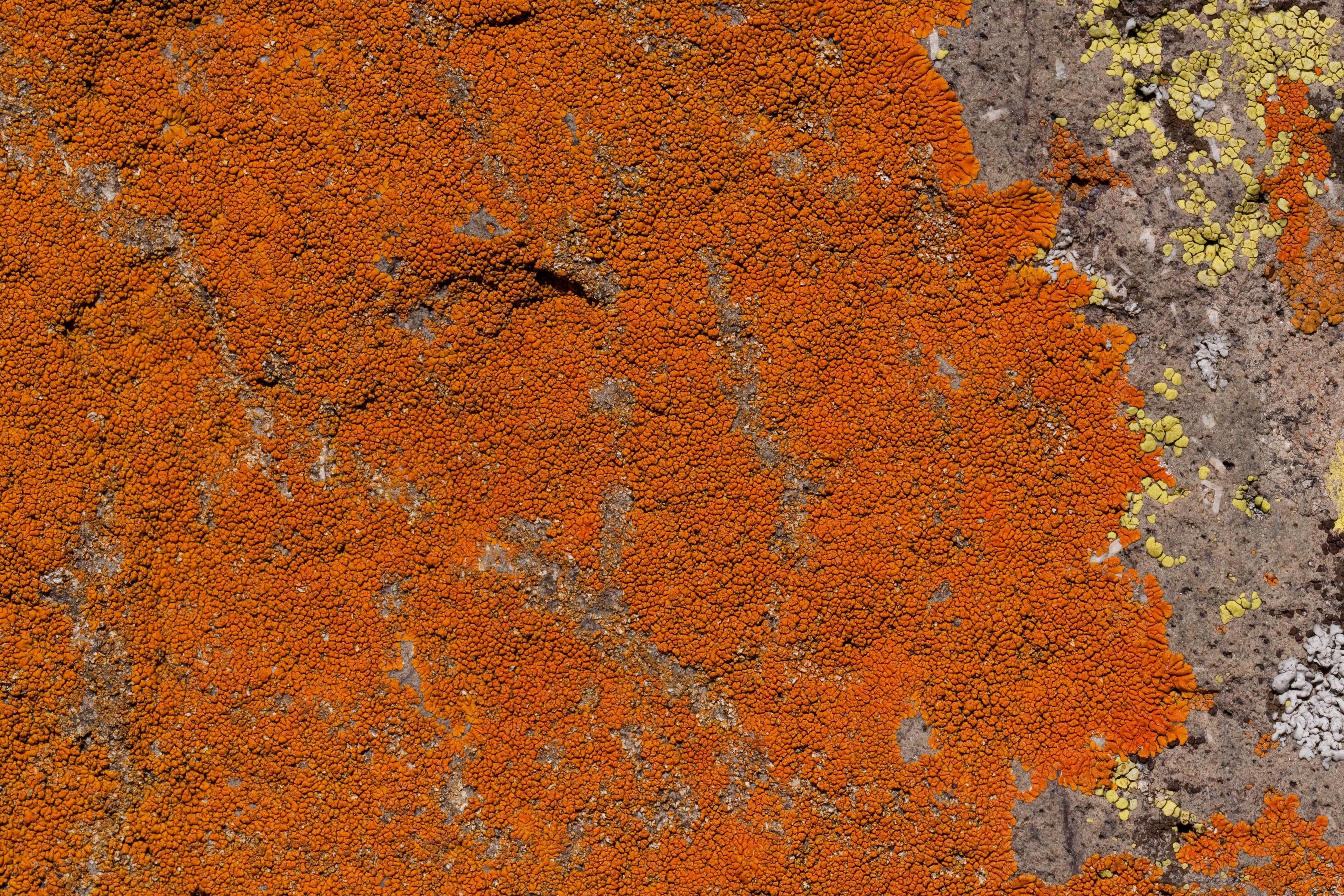 Caloplaca texana image