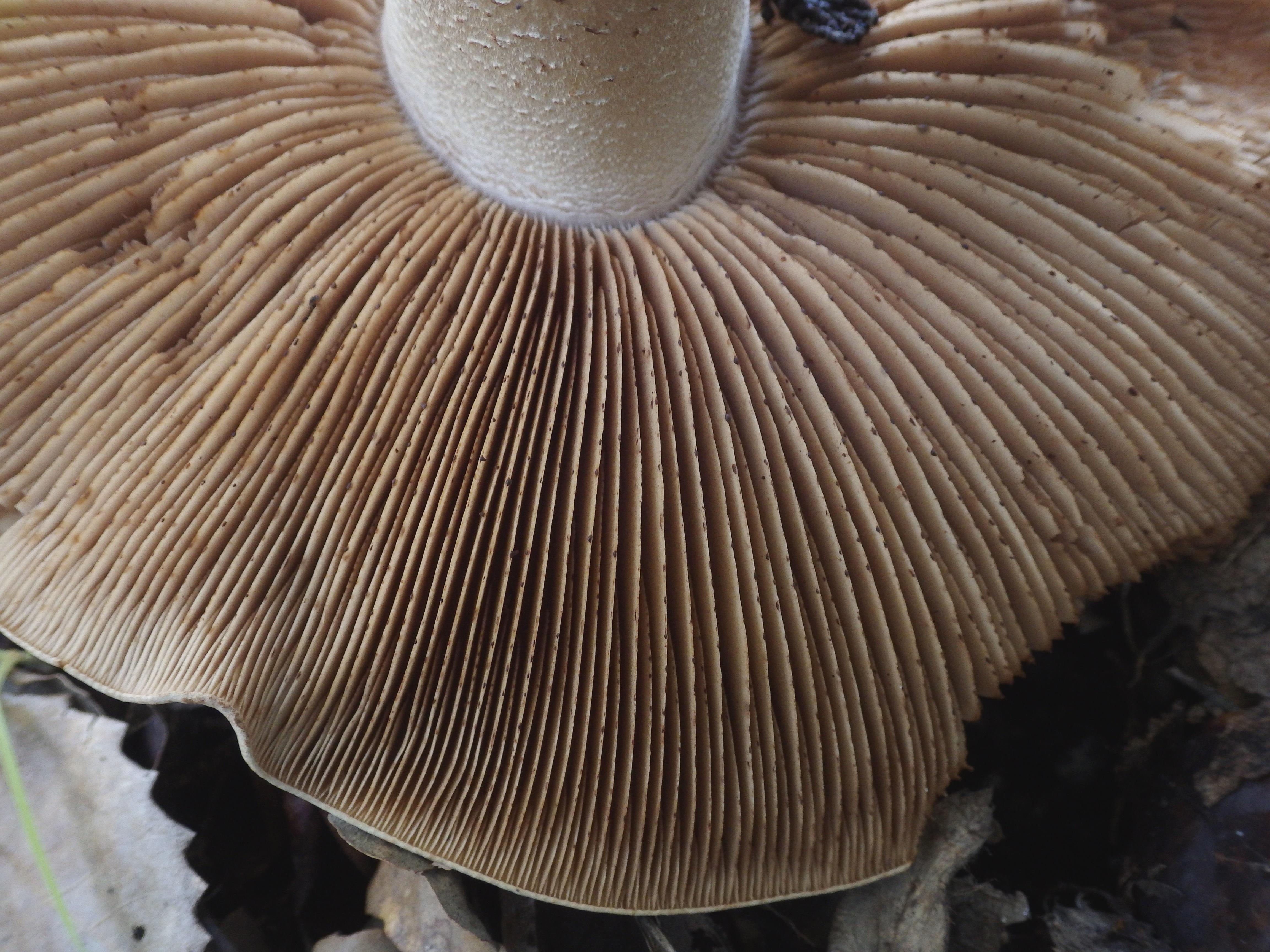 Hebeloma bulbiferum image