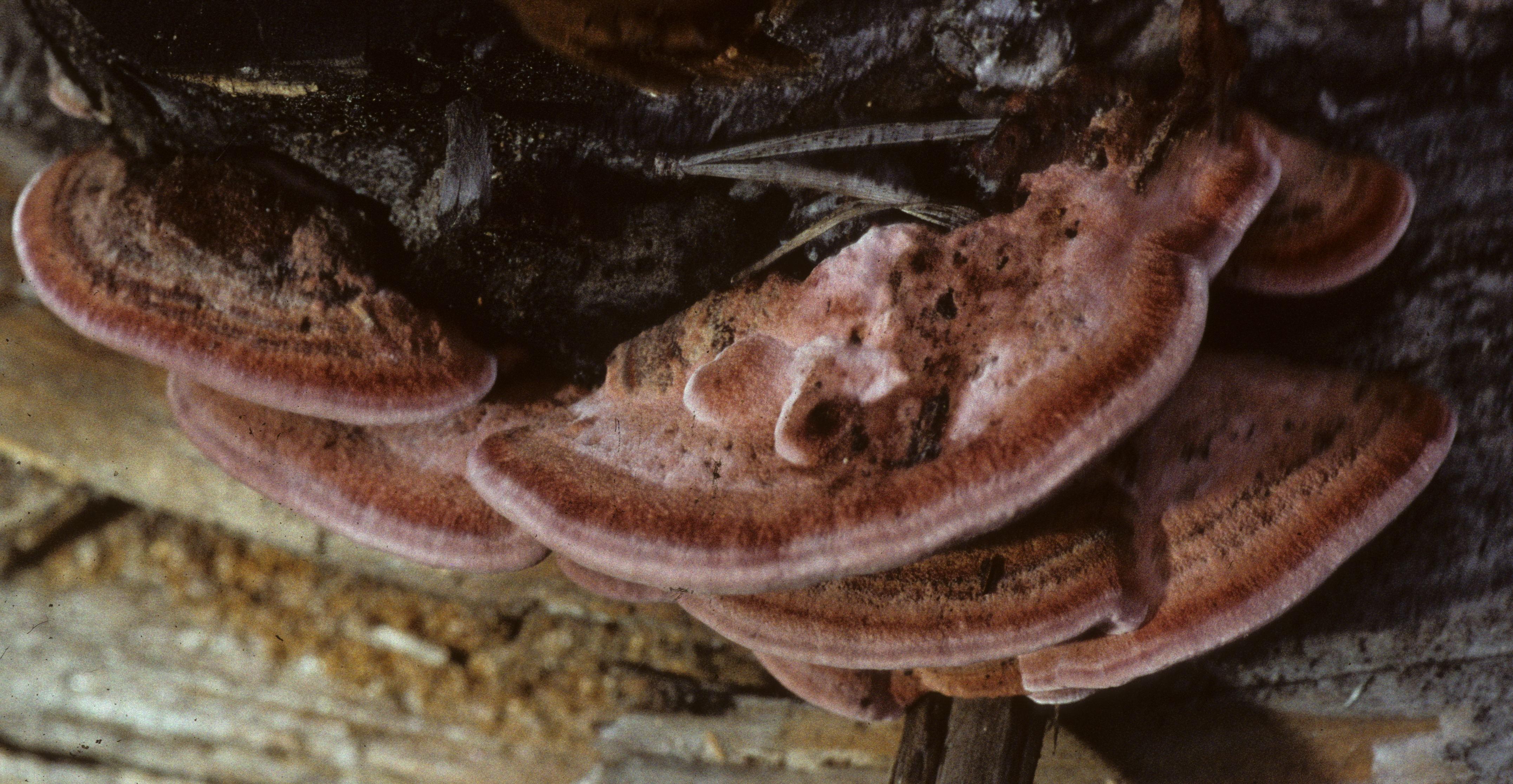 Rhodofomes cajanderi image