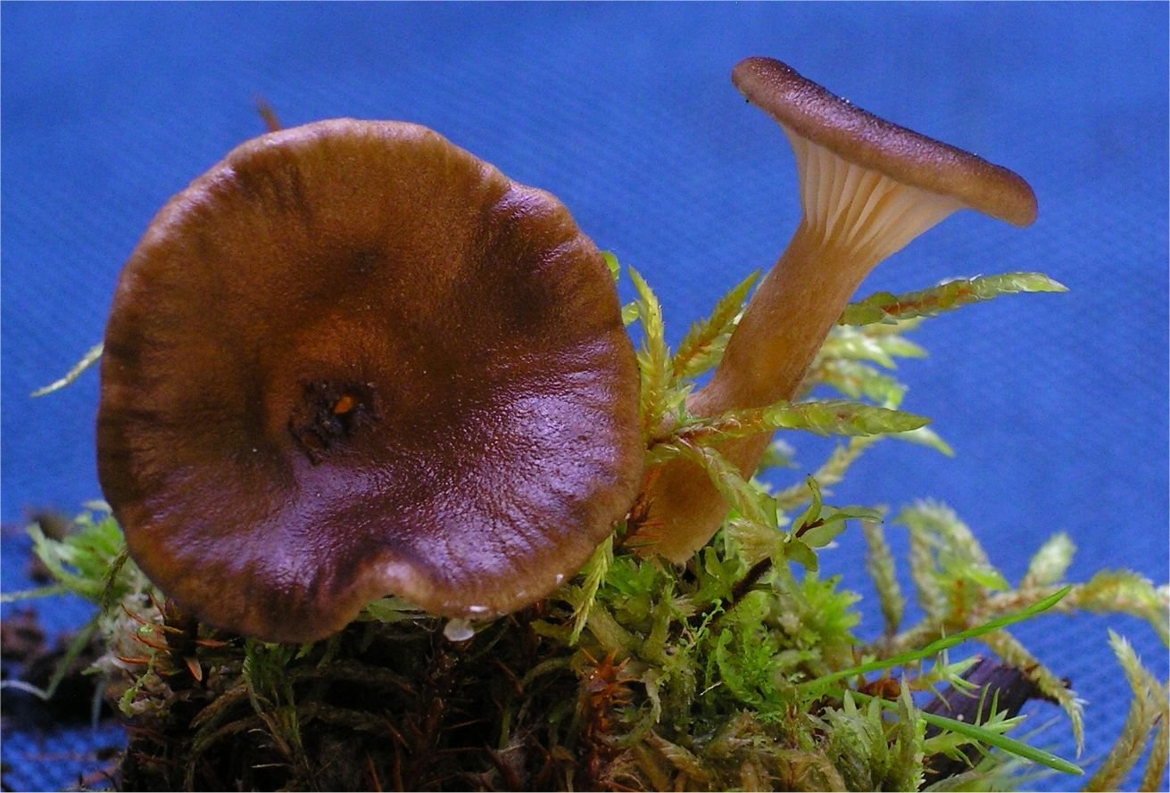 Hohenbuehelia longipes image
