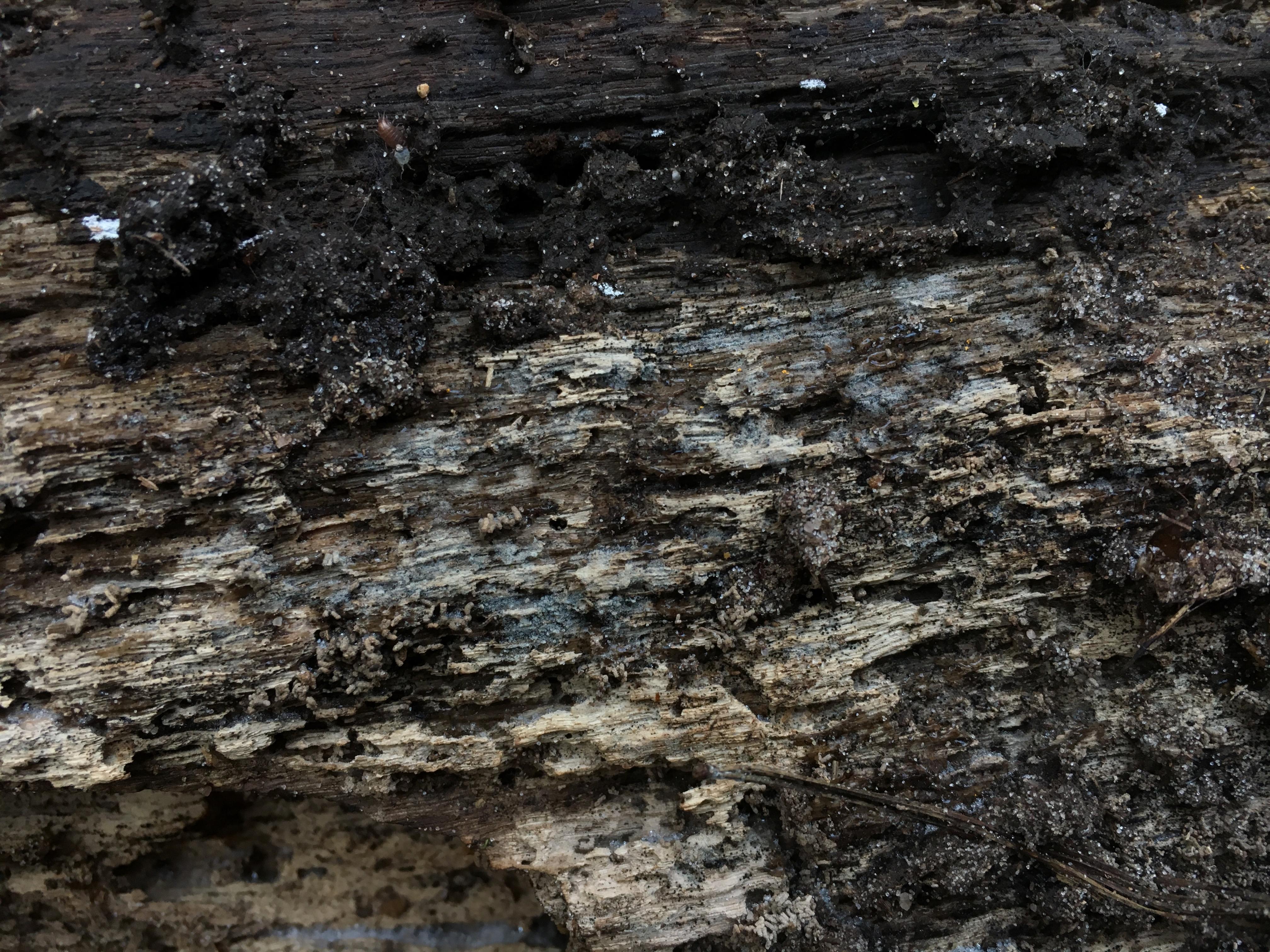 Paullicorticium pearsonii image