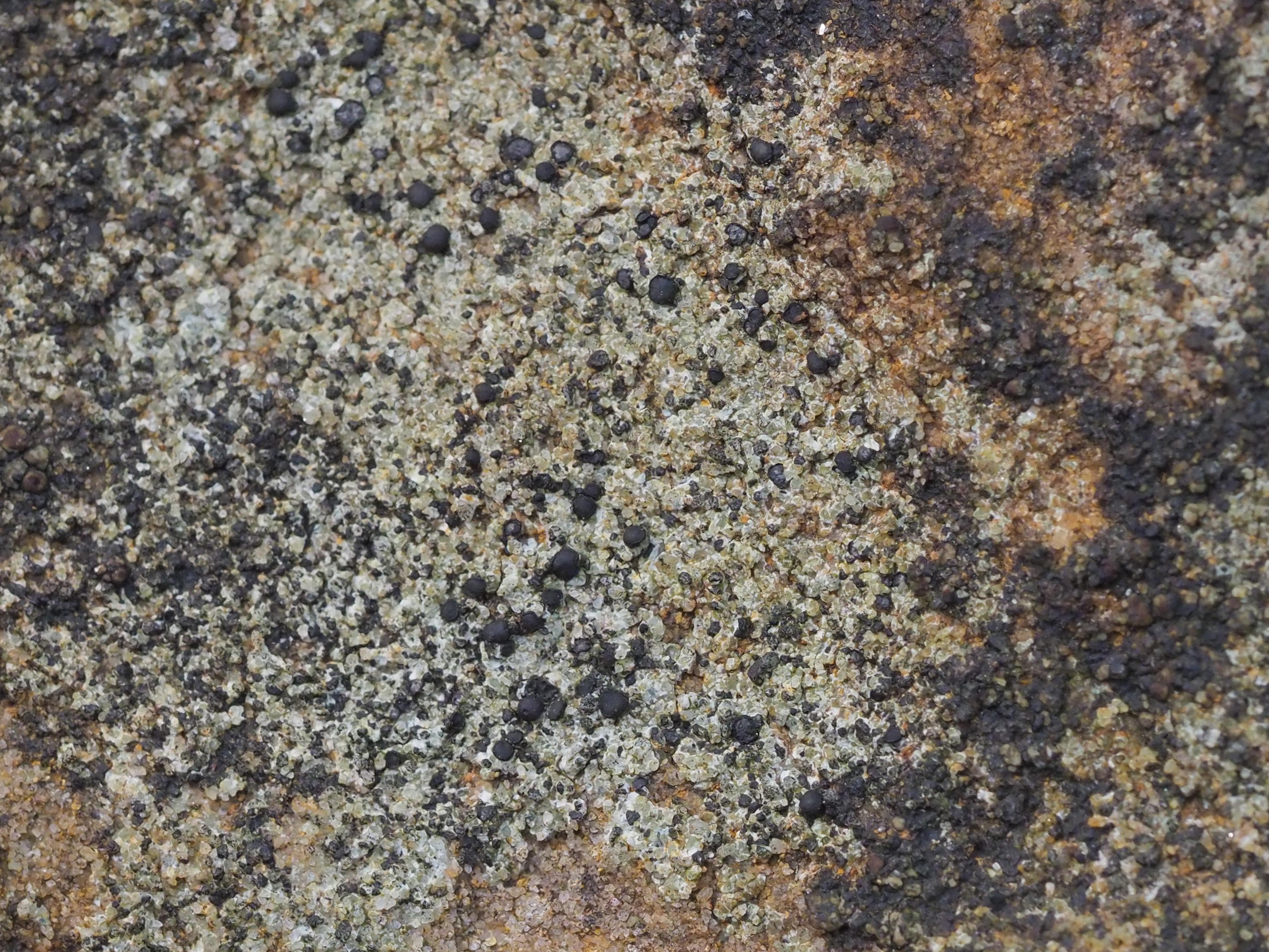 Porpidia subsimplex image