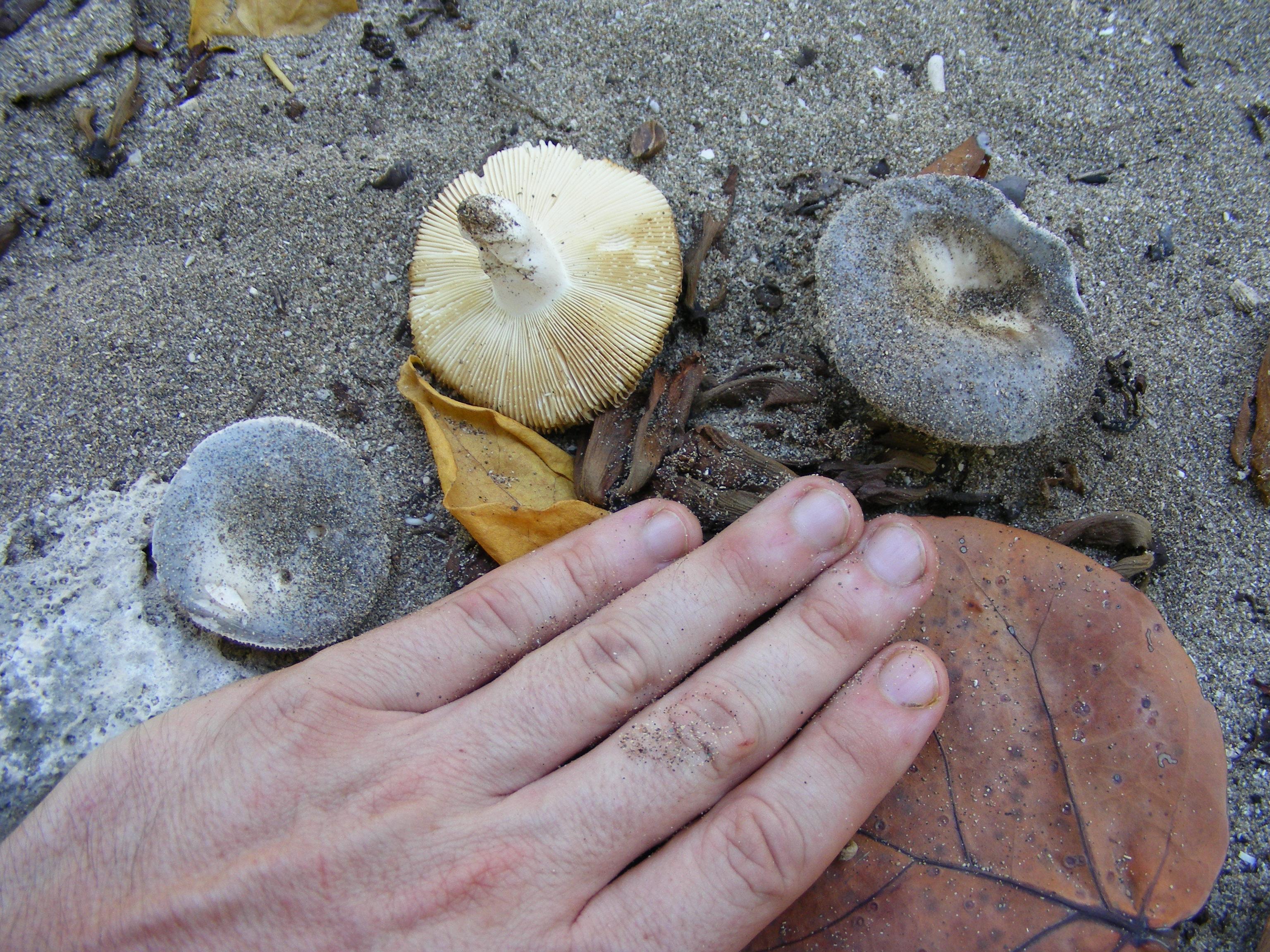 Russula cremeolilacina image