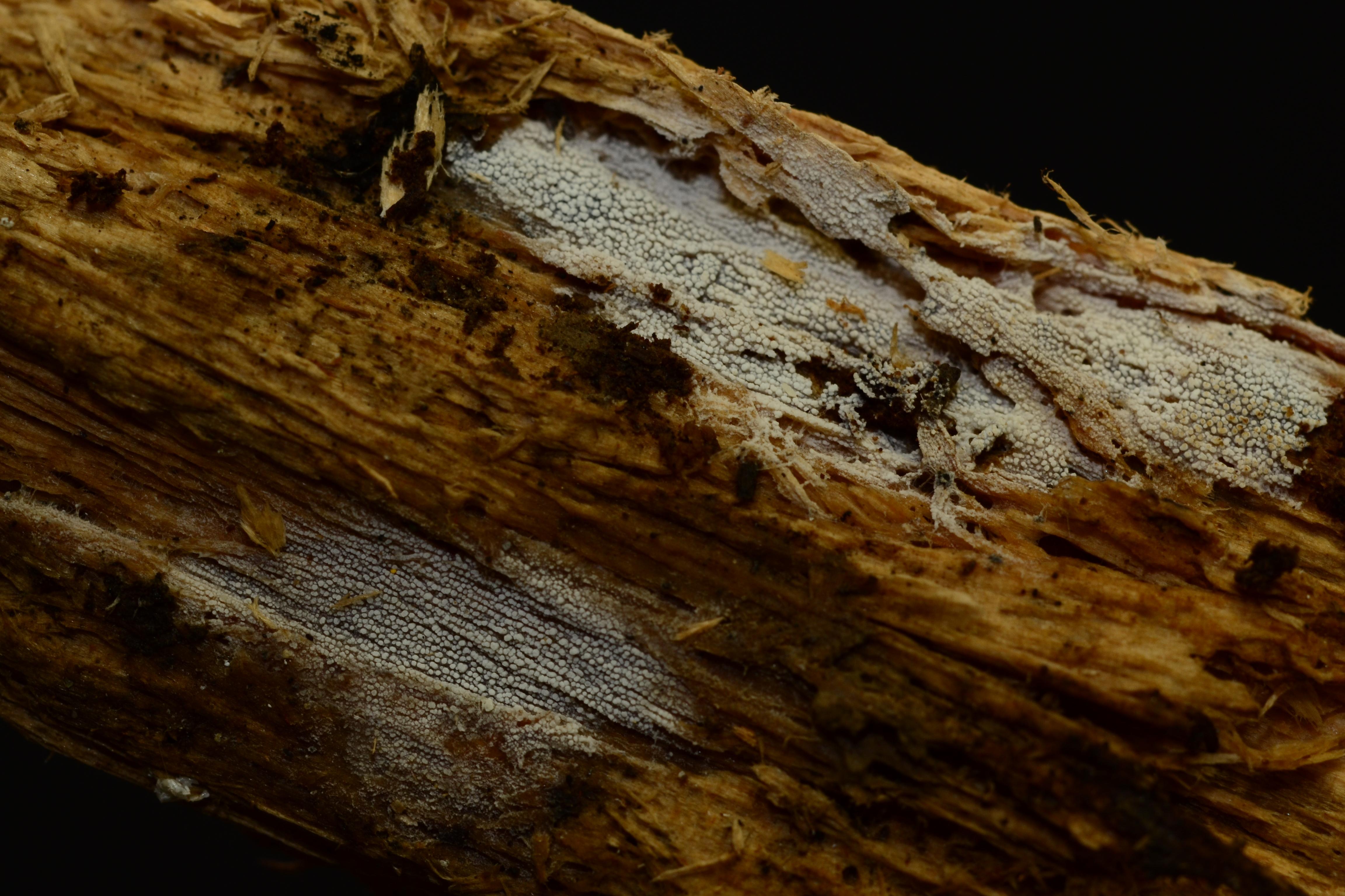 Hyphodontia curvispora image