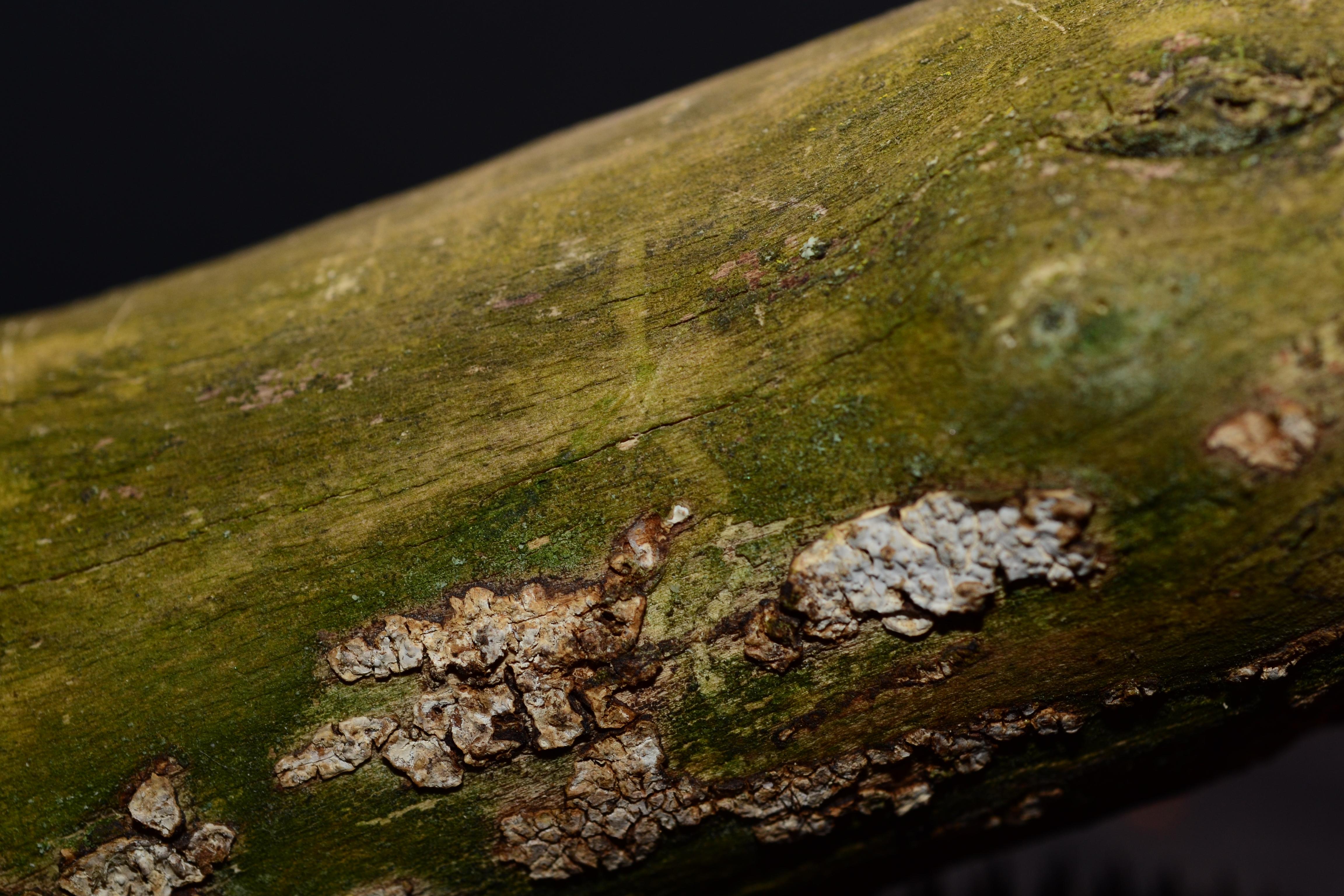 Eichleriella macrospora image