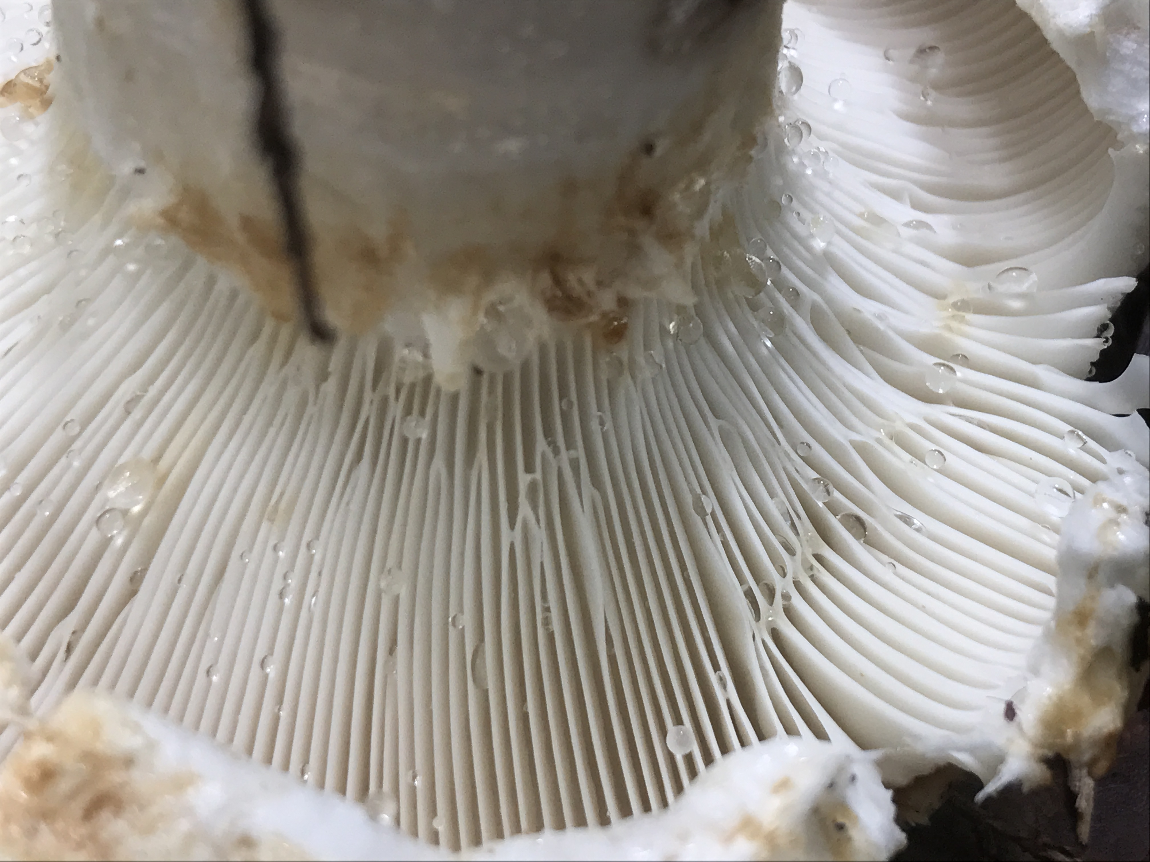 Lactifluus deceptivus image