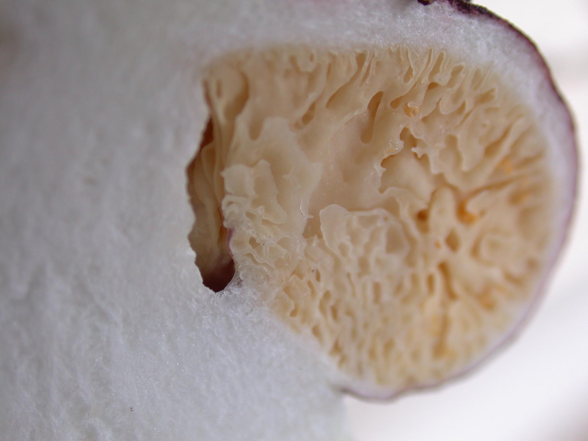 Macowanites nauseosus image