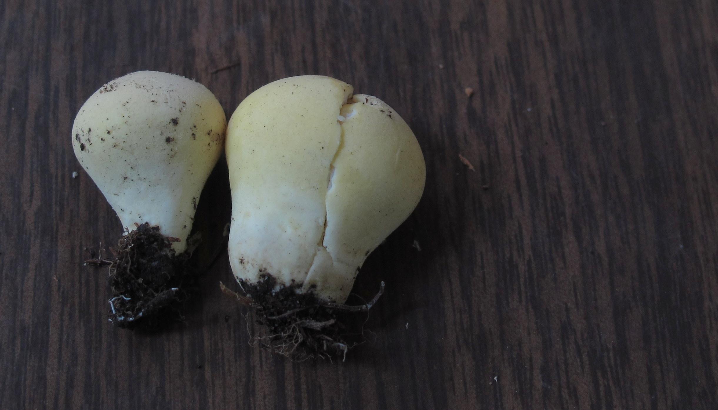 Lycoperdon flavotinctum image