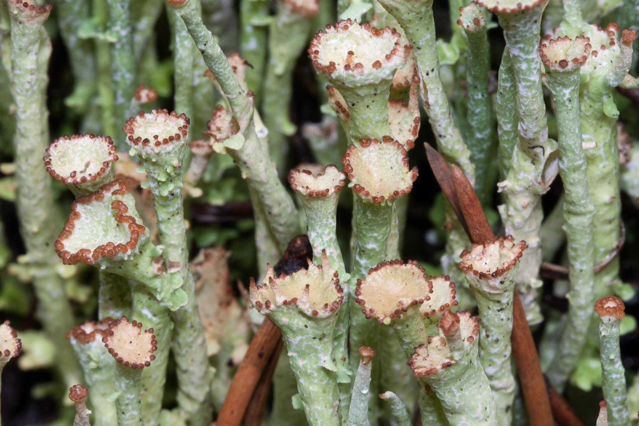 Cladonia ecmocyna subsp. ecmocyna image