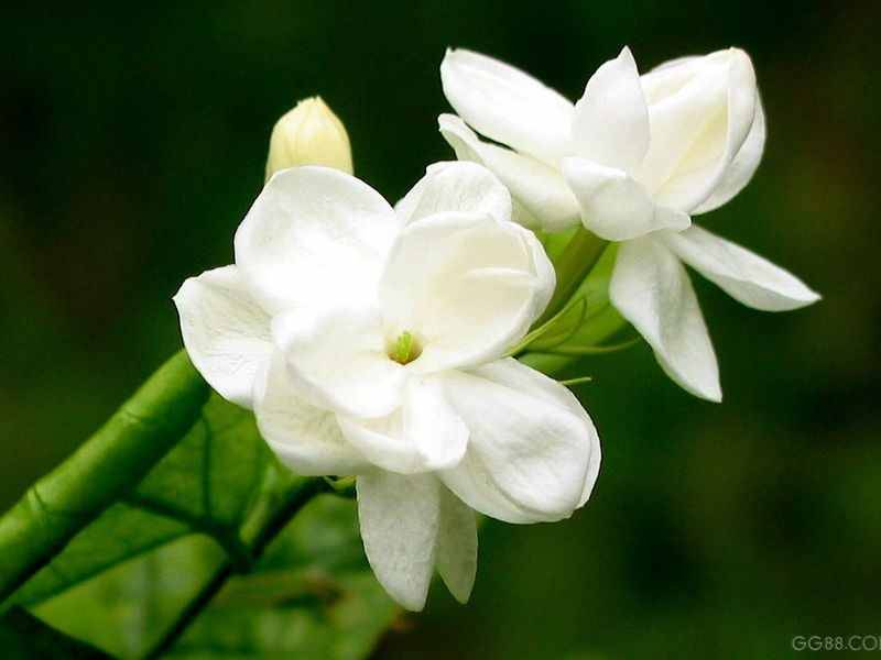 A picture of two white flowers attached to a green plant