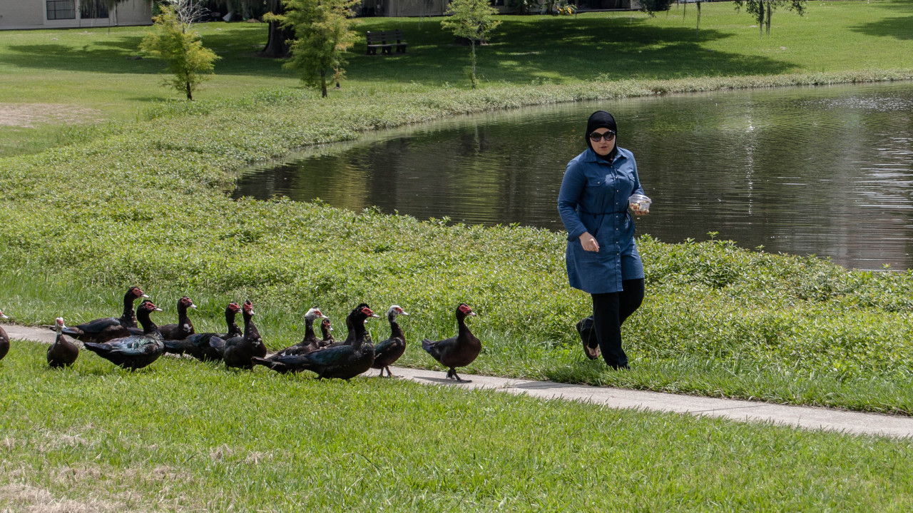 A picture of Mona walking in front of a small pond with a line of ducks following her.