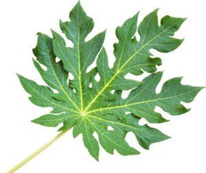 paw paw leaves