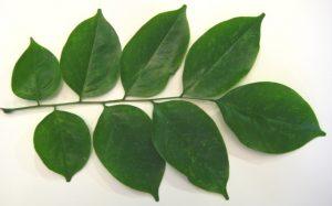 Narra Trees, Angsana Leaves
