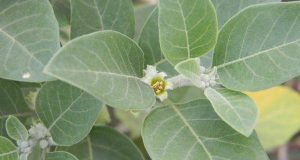 15 Benefits of Ashwagandha Leaves For Weight Loss - Dr Heben