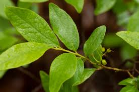 Huckleberry Leaves