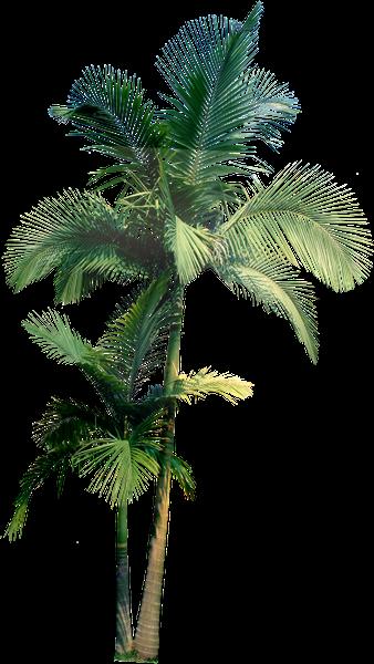 пальма, пальмовое дерево, тропическое дерево, palm tree, tropical tree, palme, tropischer baum, paume, palmier, arbre tropical, palmera, árbol tropical, albero tropicale, palma, palmeira, árvore tropical