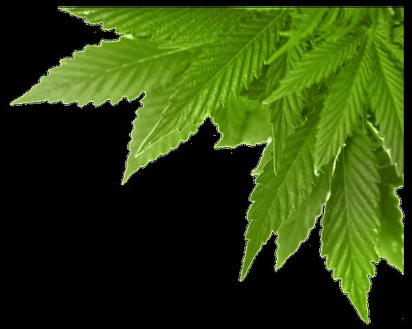 Лист крапивы конопли марихуана 13