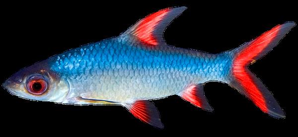речная рыба, красноперка, river fish, flussfische, rotfeder, poissons de rivière, rotengle, pescado de río, pesce di fiume, scardole, peixe do rio, rudd