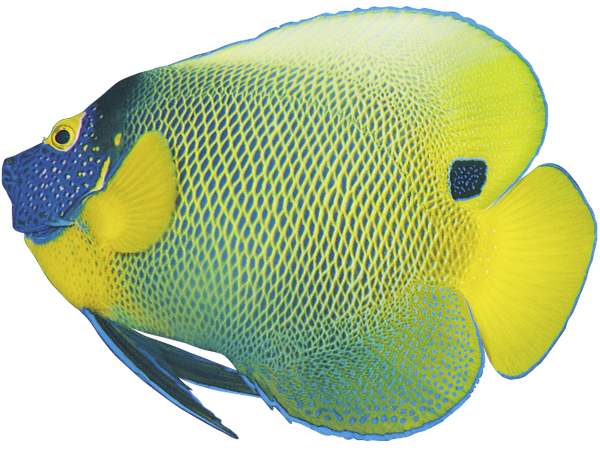 рыба ангел, ангел синеголовый, морская рыба, сине желтая рыба, яркая рыба, красивая морская рыба, fish angel, angel bluehead, sea fish, blue-yellow fish, bright fish, beautiful sea fish, engelsfische, engel sinegolovy, seefisch, blau, gelb, fisch, bunte fische, schöne seefische, poissons d'ange, ange sinegolovy, poissons de mer, poissons jaune bleu, poissons colorés, beaux poissons d'eau salée, peces ángel, ángel sinegolovy, pescado de mar, pescado azul, amarillo, peces de colores, peces de agua salada hermosa, pesci angelo, angelo sinegolovy, pesce di mare, pesce azzurro giallo, pesci colorati, bellissimi pesci di acqua salata, peixe anjo, anjo sinegolovy, peixes de mar, peixes amarelos azul, peixes coloridos, bonito peixes de água salgada
