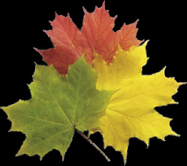 кленовый лист, зеленый лист, осенние листья, желтый лист, осенняя листва, красный лист, осень, maple leaf, green leaf, autumn leaves, yellow leaf, autumn foliage, red leaf, autumn, ahornblatt, grünes blatt, blätter im herbst, gelbe blätter herbstlaub, rotes blatt, herbst, feuille d'érable, feuille verte, les feuilles d'automne, feuillage d'automne feuille jaune, feuille rouge, automne, hoja de arce, hoja verde, hojas de otoño amarillas, hoja de follaje de otoño, hoja roja, otoño, foglia d'acero, foglia verde, foglie gialle, fogli fogliame autunnale, foglia rossa, autunno, folha de bordo, folha verde, folhas de outono amarelas, folha folhagem de outono, folha vermelha, outono, кленовий лист, зелений лист, жовтий лист, осіннє листя, червоний лист, осінь