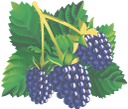 черная малина, глен кое, синяя малина, синий, black raspberry, blue raspberry, blue, schwarze himbeere, blaue himbeere, blau, framboise noire, framboise bleue, bleue, frambuesa negra, frambuesa azul, lampone nero, lampone blu, blu, framboesa preta, framboesa azul, azul, чорна малина, синя малина, синій