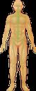 тело человека, нервная система, мозг, анатомия, внутренние органы, медицина, строение тела, human body, nervous system, brain, anatomy, internal organs, medicine, body structure, menschlicher körper, nervensystem, gehirn, innere organe, medizin, körperstruktur, corps humain, système nerveux, cerveau, anatomie, organes internes, médecine, structure du corps, cuerpo humano, sistema nervioso, cerebro, anatomía, órganos internos, estructura del cuerpo, corpo umano, cervello, organi interni, struttura corporea, corpo humano, sistema nervoso, cérebro, anatomia, órgãos internos, medicina, estrutura do corpo, тіло людини, нервова система, мозок, анатомія, внутрішні органи, будова тіла