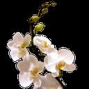 цветок орхидеи, ветка орхидеи, белая орхидея, orchid flower, orchid branch, white orchid, orchideenblüte, orchidee zweig, weiße orchidee, orchidée, fleur, orchidée branche, orchidée blanche, flor de la orquídea, ramificación de la orquídea, orquídea blanca, fiore di orchidea, ramo di orchidea, orchidea bianca, flor da orquídea, filial da orquídea, orquídea branca