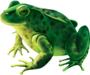 фауна, животные, земноводные, зеленая лягушка, жаба, animals, amphibians, green frog, toad, tiere, amphibien, grüner frosch, kröte, faune, animaux, amphibiens, grenouille verte, crapaud, animales, anfibios, animali, anfibi, rana verde, rospo, fauna, animais, anfíbios, sapo verde, sapo