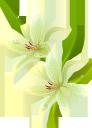 лилии, белая лилия, белый цветок, цветы, зеленое растение, флора, lily, white lily, white flower, flowers, green plant, lilie, weiße lilie, weiße blume, blumen, grüne pflanze, lis, lys blanc, fleur blanche, fleurs, plante verte, flore, lirio, lirio blanco, flor blanca, giglio, giglio bianco, fiore bianco, fiori, pianta verde, lírio, lírio branco, flor branca, flores, planta verde, flora, лілії, біла лілія, біла квітка, квіти, зелена рослина