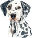 собака, далматин, далматинец, домашние животные, фауна, dog, dalmatian, pets, hund, dalmatiner, haustiere, chien, dalmatien, animaux domestiques, faune, perro, mascotas, cane, dalmata, animali domestici, cachorro, dálmata, animais de estimação, fauna, пес, далматинець, домашні тварини