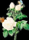 белый цветок, роза, белая роза, бабочка, садовый цветок, цветы, садовые цветы, зеленое растение, природа, флора, white flower, garden flower, flowers, garden flowers, green plant, weiße blume, gartenblume, blumen, gartenblumen, grüne pflanze, natur, fleur blanche, fleur de jardin, fleurs, fleurs de jardin, plante verte, nature, flore, flor blanca, flor del jardín, flores del jardín, naturaleza, fiore bianco, fiore da giardino, fiori, fiori da giardino, pianta verde, natura, flor branca, flor de jardim, flores, flores de jardim, planta verde, natureza, flora, біла квітка, садова квітка, квіти, садові квіти, зелена рослина