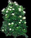 куст цветов, куст белой розы, белые розы, роза кустовая садовая, a bush of flowers, a bush of a white rose, white roses, a rose bush garden, busch blumen, busch mit weißen rosen, weiße rosen, rosenbusch garten, fleurs de brousse, buisson de roses blanches, roses blanches, roseraie brousse, arbusto de flores, arbusto de rosas blancas, rosas blancas, jardín de rosas arbusto, cespuglio di fiori, cespuglio di rose bianche, rose bianche, roseto cespuglio, flores arbusto, arbusto de rosas brancas, rosas brancas, roseira jardim